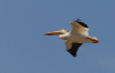 Pelican on the Wi...