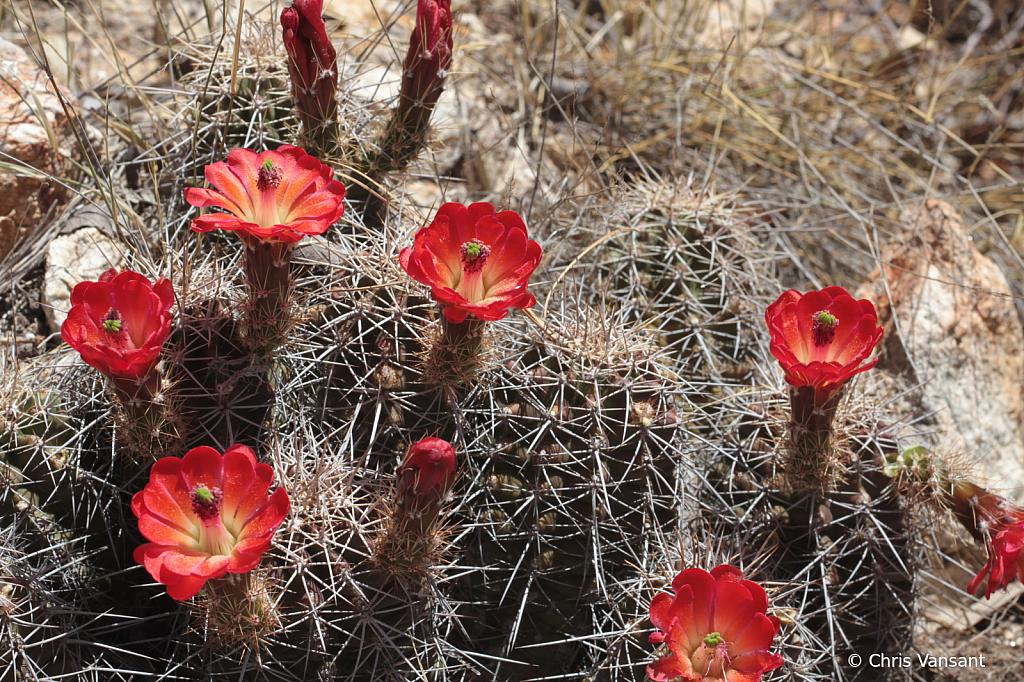 20180520_0358 Scarlet Hedgehog cactus, Mt. Lemmon - ID: 15774321 © Chris Vansant