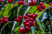 Red Berries - Gre...