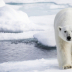 © Sydna  Stout PhotoID # 15781135: polar bear on ice
