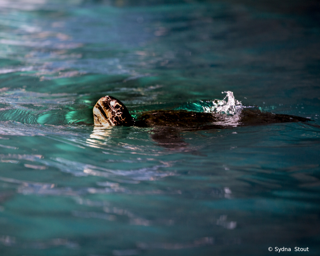 sea turtle - ID: 15781215 © Sydna  Stout