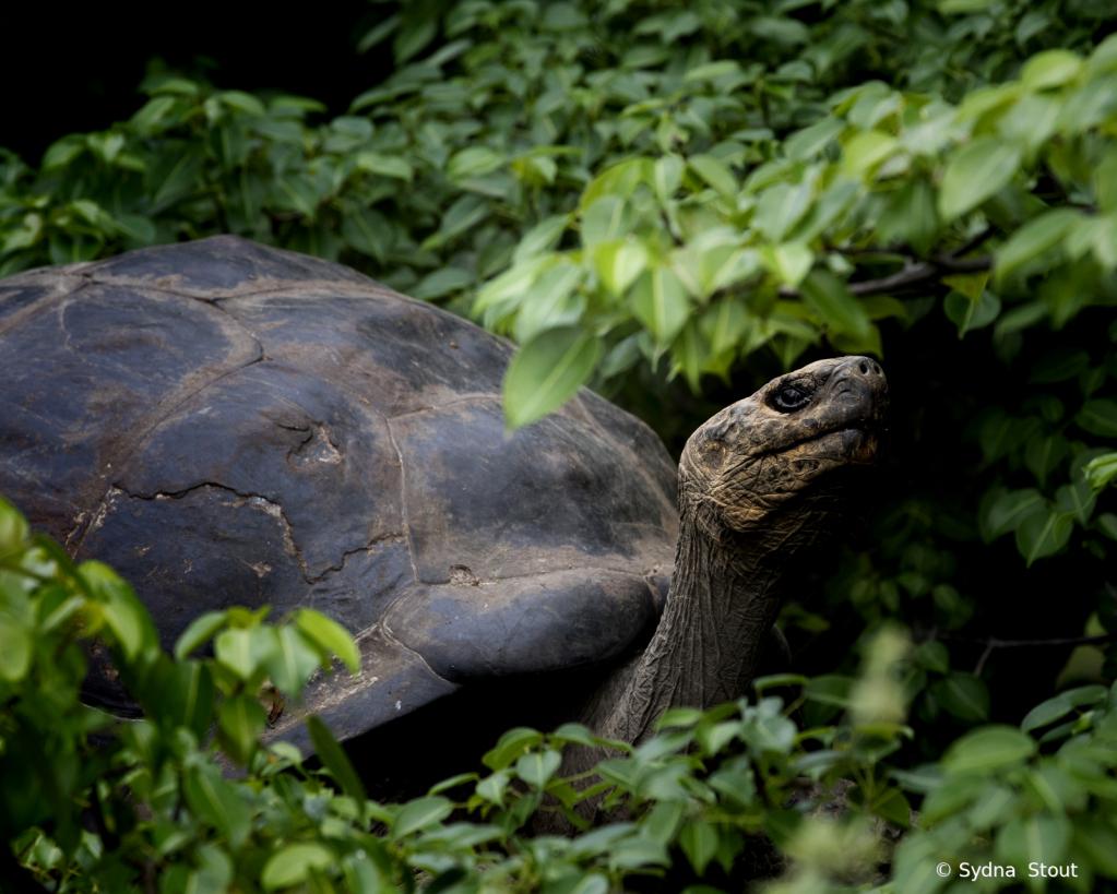 land turtle - ID: 15781216 © Sydna  Stout