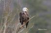 The Regal Eagle
