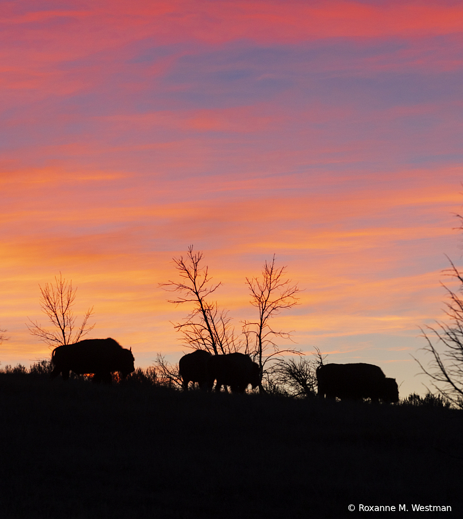 Bison at sunset - ID: 15784965 © Roxanne M. Westman
