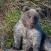 © James W. Betts PhotoID # 15785074: Baby Brown Bear