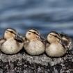 Three Ducks in a ...