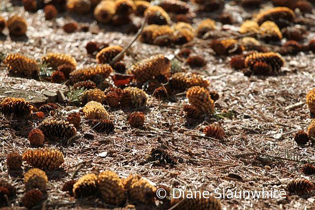 Pinecones - ID: 15789607 © Diane Slaunwhite