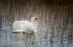 One Swan A Swimmi...