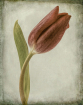 Same Tulip, Anoth...