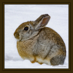Mr. Cottontail