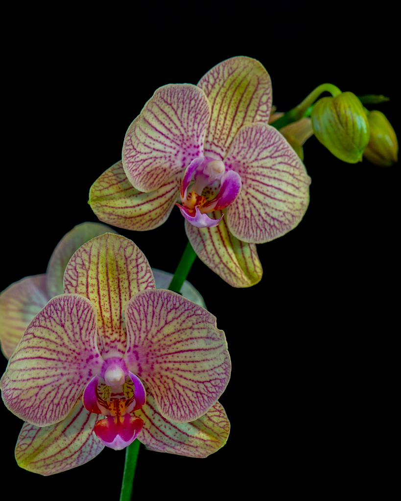 A Pair Of Orchids With More To Come