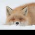 © Kitty R. Kono PhotoID# 15791950: Little Red Fox in the Snow