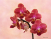Winter Orchid Sti...