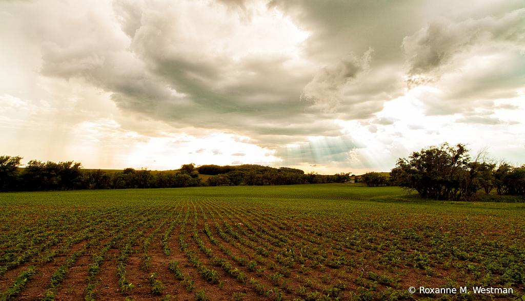 New growth on soybean field North Dakota - ID: 15799275 © Roxanne M. Westman