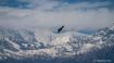 Eagle at Himalaya...