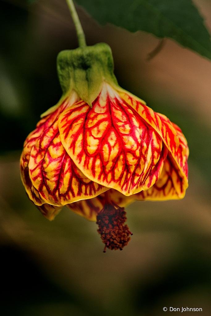Flowering Maple 2-24-20 009 - ID: 15808850 © Don Johnson