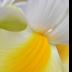 © Peter Tomlinson PhotoID# 15809893: Iris detail 5