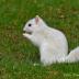 © Peter Tomlinson PhotoID# 15809898: White Squirrel, Brevard