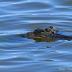 © Peter Tomlinson PhotoID# 15809900: Alligator 1, South Carolina