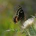 © Peter Tomlinson PhotoID# 15809903: Black Swallowtail, South Carolina