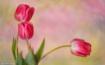 Spring Tulip Trio