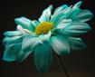 Tourquoise Daisy