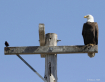 Bald Eagle and Re...