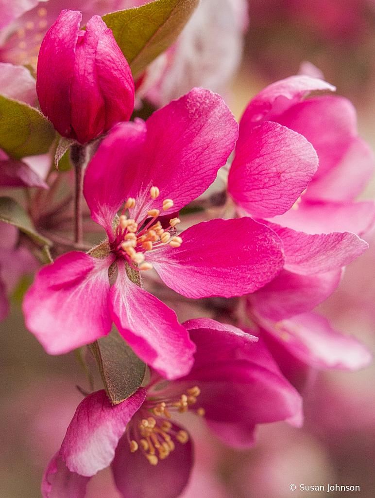 Crabapple Blossoms - ID: 15814737 © Susan Johnson
