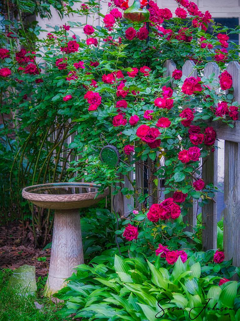 Rambling Roses - ID: 15815127 © Susan Johnson