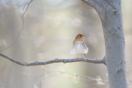 Photography Contest Grand Prize Winner - April 2020: Hermit Thrush