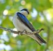 Tree Swallow Pose...