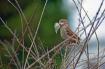 A Sparrow Gathers...