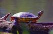 Painted Turtle Wa...