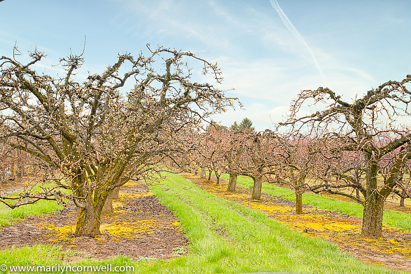 Orchards in April in Niagara