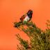 © Robert Hambley PhotoID # 15817474: Spotted Towhee