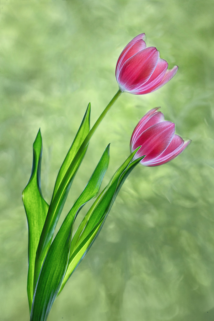 Two Lit Tulips