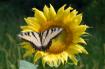 Sunflower with Bu...