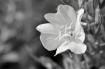 Flower in Black a...