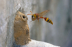 Potter wasp with ...