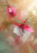 Fuchsia In A Bask...