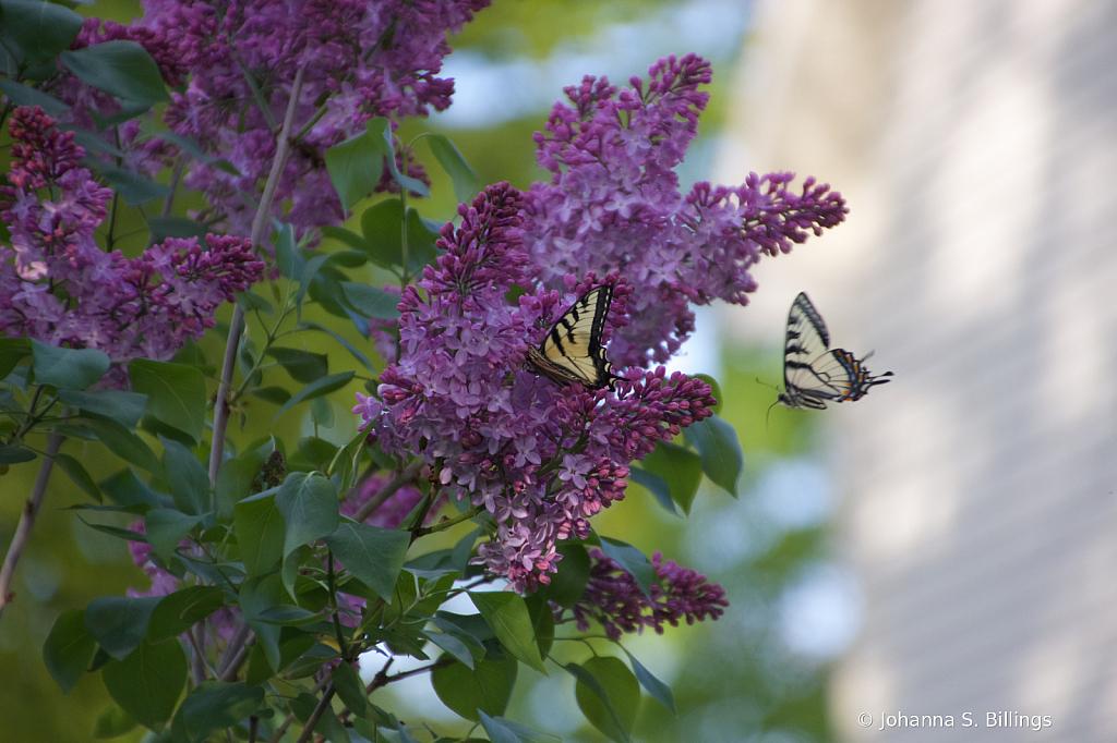 Flight - ID: 15823291 © Johanna S. Billings