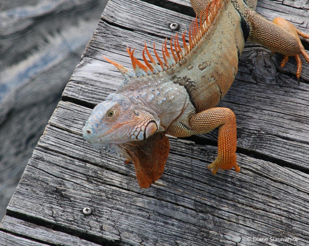 Curious Iguana in Florida - ID: 15823357 © Diane Slaunwhite