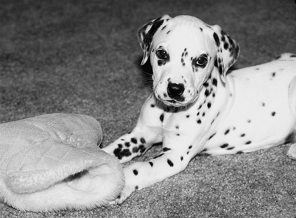 Dalmation Pup