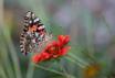 Winery Butterfly