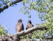Bald Eagle Babies...
