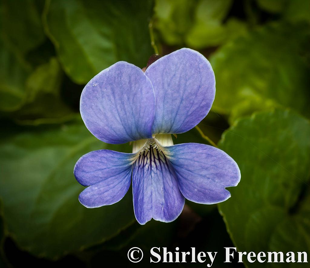 VioletBloom - ID: 15825327 © Shirley D. Freeman