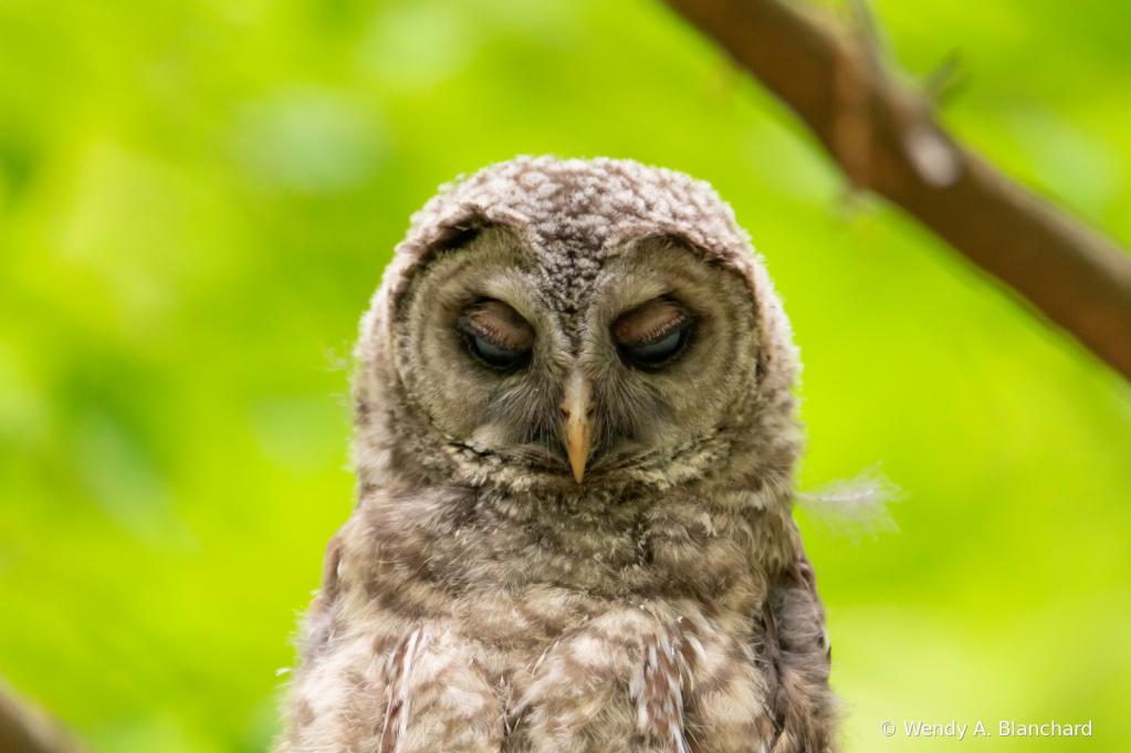 Baby Barred Owl Falling Asleep
