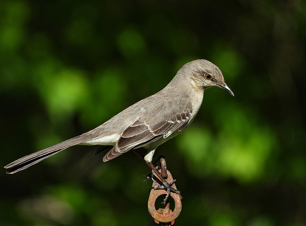 Just a Mockingbird - ID: 15826504 © Janet Criswell