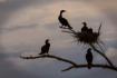 Cormorants in Sil...