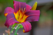 Purple Day Lily